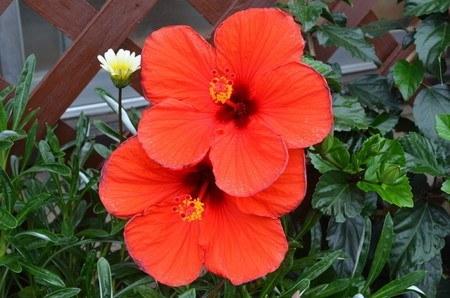Hibiscus34.jpg