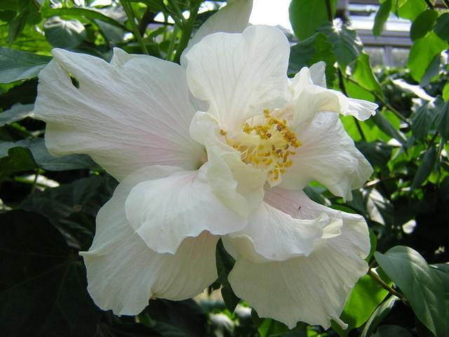 Hibiscus640.jpg