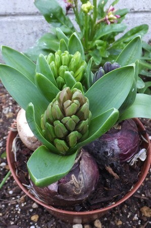 Hyacinthus005.jpg