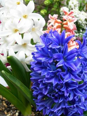 Hyacinthus (3).jpg
