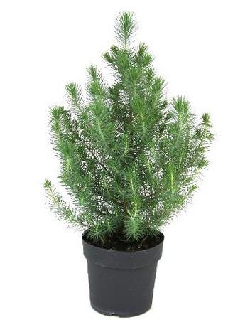 Italian stone pine.jpg