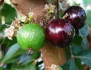 ジャボチカバ 鉢植え栽培のコツ