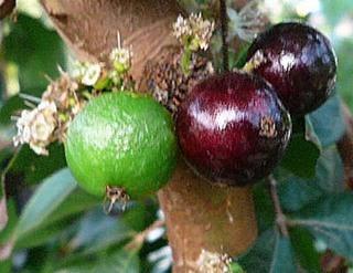 ジャボチカバの育て方 栽培方法