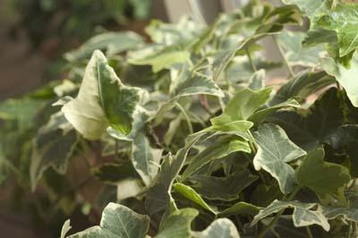 Japanese Ivy (3).jpg
