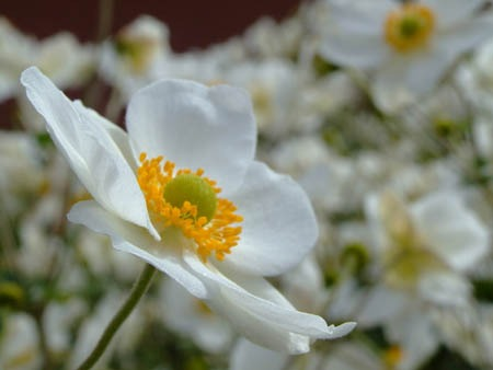 Japanese anemone (3).jpg