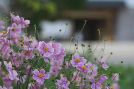 Japanese anemone (4).jpg