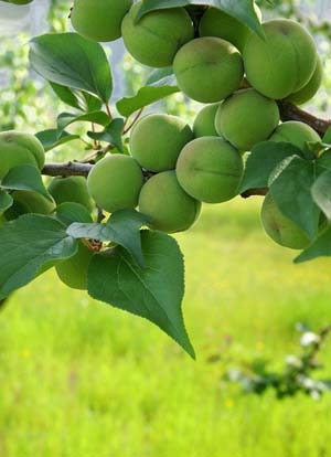 Japanese apricot (3).jpg