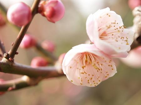 Japanese apricotB (3).jpg