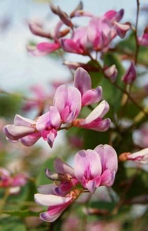 Japanese clover (2).jpg