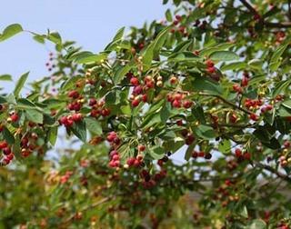 ジューンベリーの育て方 栽培方法