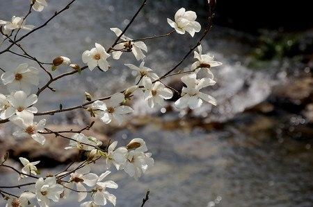 Kobushi magnolia.jpg