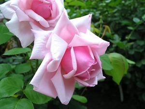 バラの育て方 3月|HT、フロリバンダ 庭植え