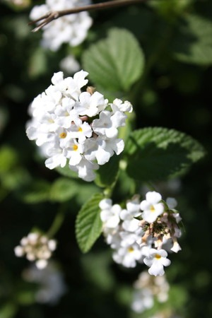 Lantana montevidensis (4).jpg