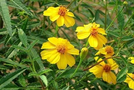 Lemon marigold.jpg