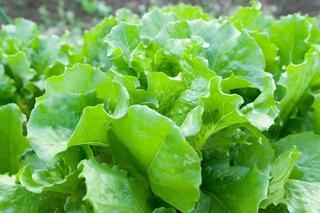レタスを上手に植え付けて育てるコツ