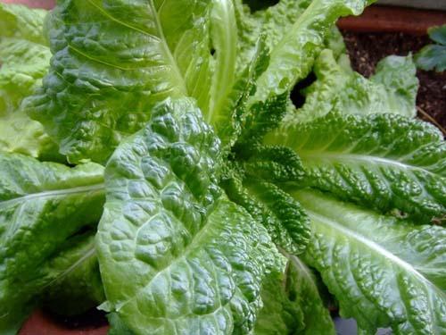 Lettuce (1).jpg