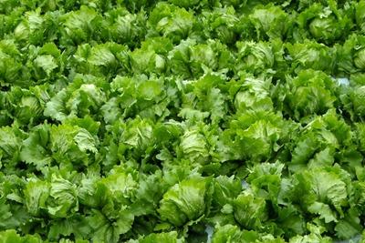 Lettuce (2).jpg
