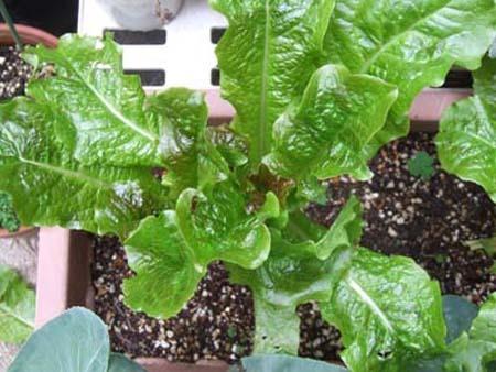 Lettuce (3).jpg