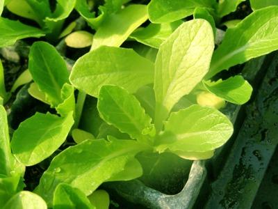 Lettuce (4).jpg