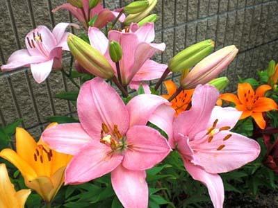 Lilium maculatum Thunb.jpg