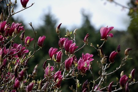 Lily magnolia.jpg