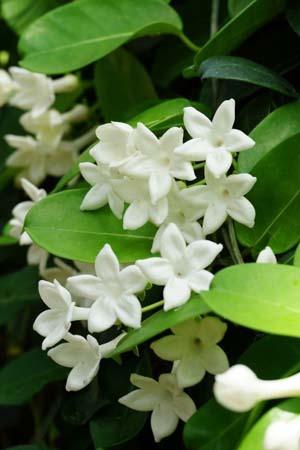 Madagascar jasmine (1).jpg