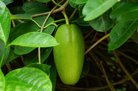 Madagascar jasmine (2).jpg