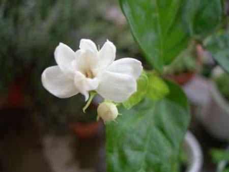 Madagascar jasmine (6).jpg