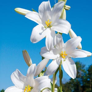 マドンナリリーの育て方|根を大切に栽培し毎年豪華に開花