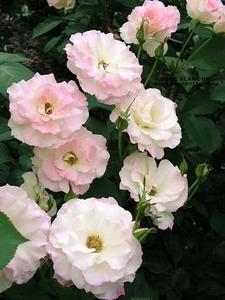 バラの育て方 7月|HT、フロリバンダ 鉢植え