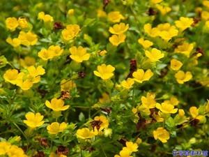 グランドカバー 黄色い花