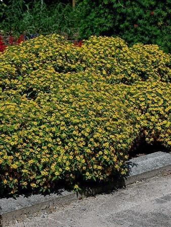 Melampodium paludosum (2).jpg