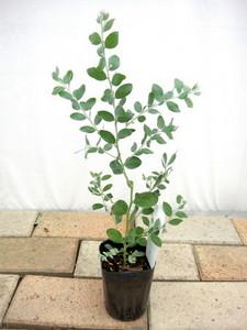ミモザ 庭植えのコツ