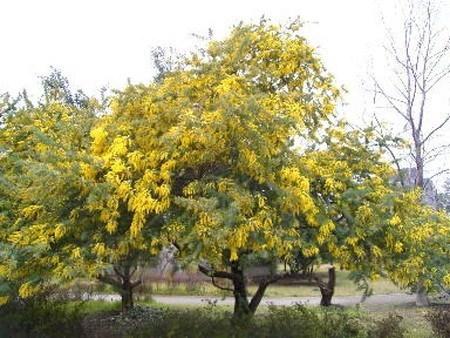Mimosa001.jpg