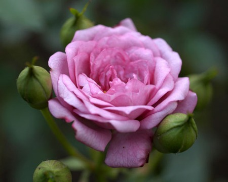 Miniature Rose (1).jpg