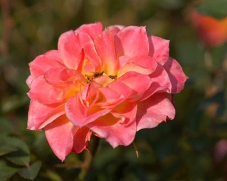 Miniature Rose (2).jpg