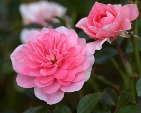 Miniature Rose (3).jpg
