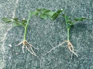 ミニバラ 新苗の植え替え