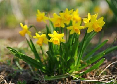 Narcissus (3).jpg