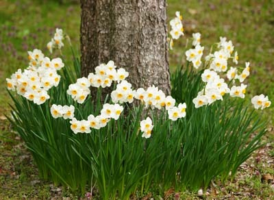 Narcissus (5).jpg
