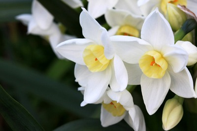 Narcissus (6).jpg