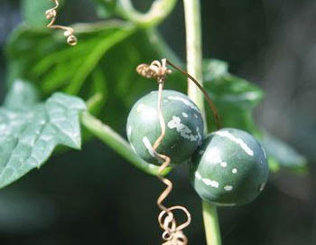Neoachmandra japonica (2).jpg