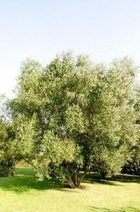 西日に強い木