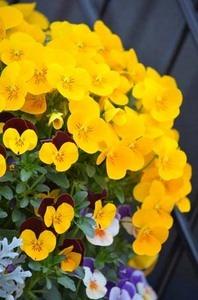 パンジー 花が咲かない
