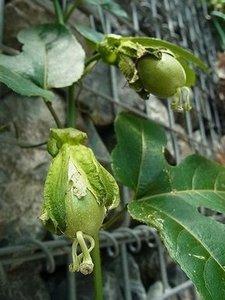 パッションフルーツ 収穫時期