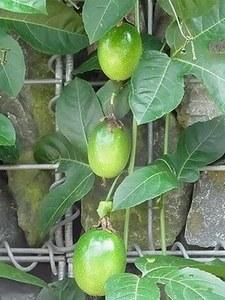 Passionfruit05.jpg