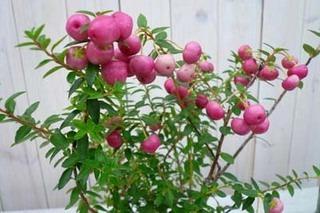 真珠の木(ベルネッチア)の育て方、栽培方法