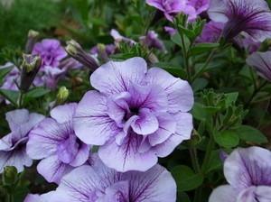 夏に長く咲く花 画像付き