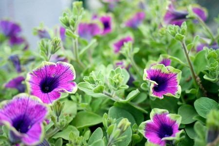 Petunia (1).jpg