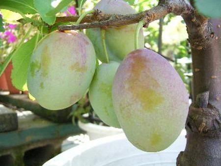 Prune (4).jpg